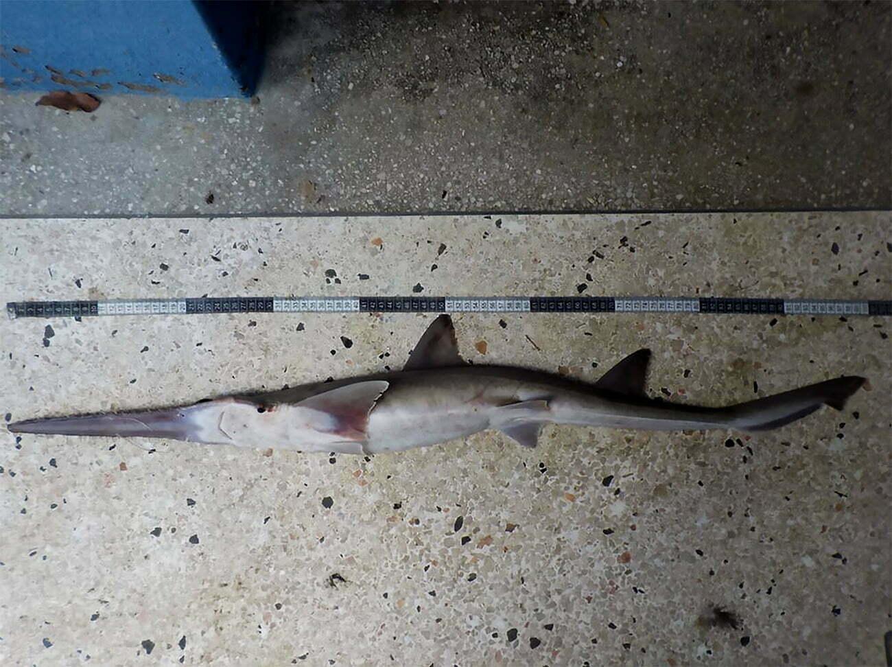 imagem de tubarão-serra