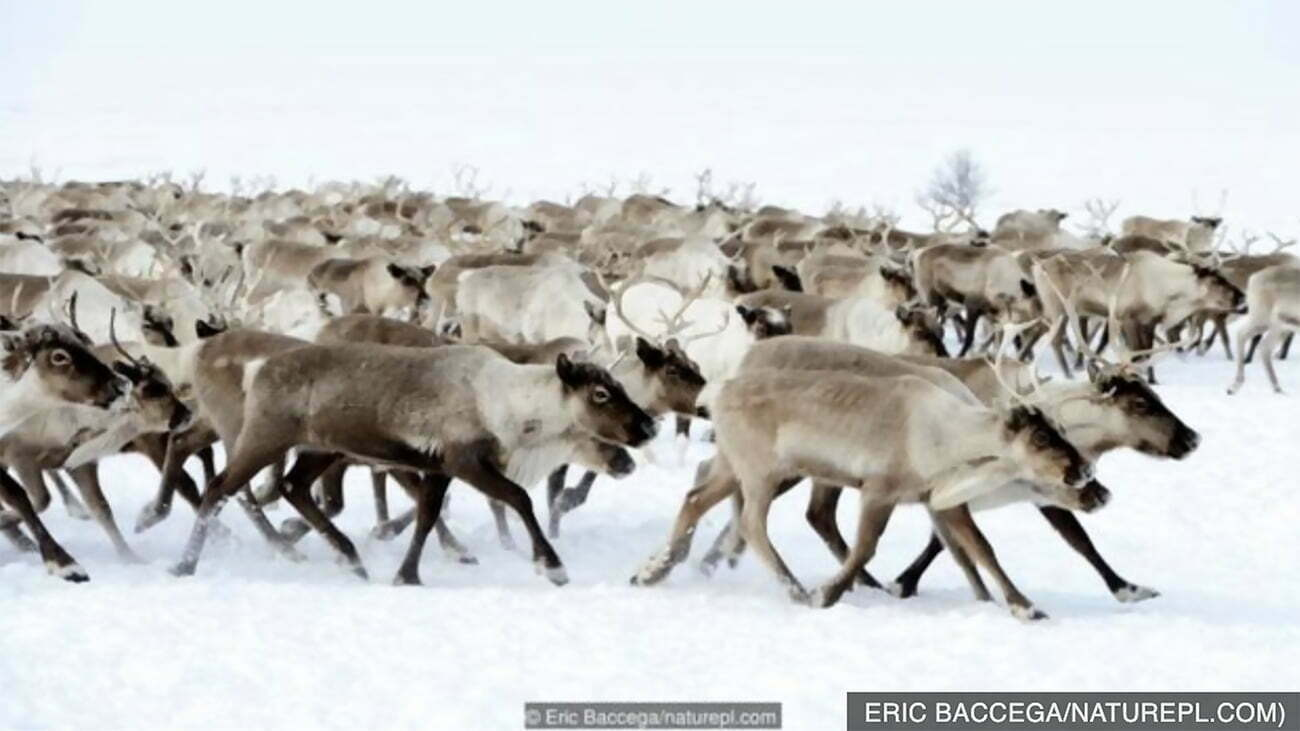 imagem de migração de renas do Ártico