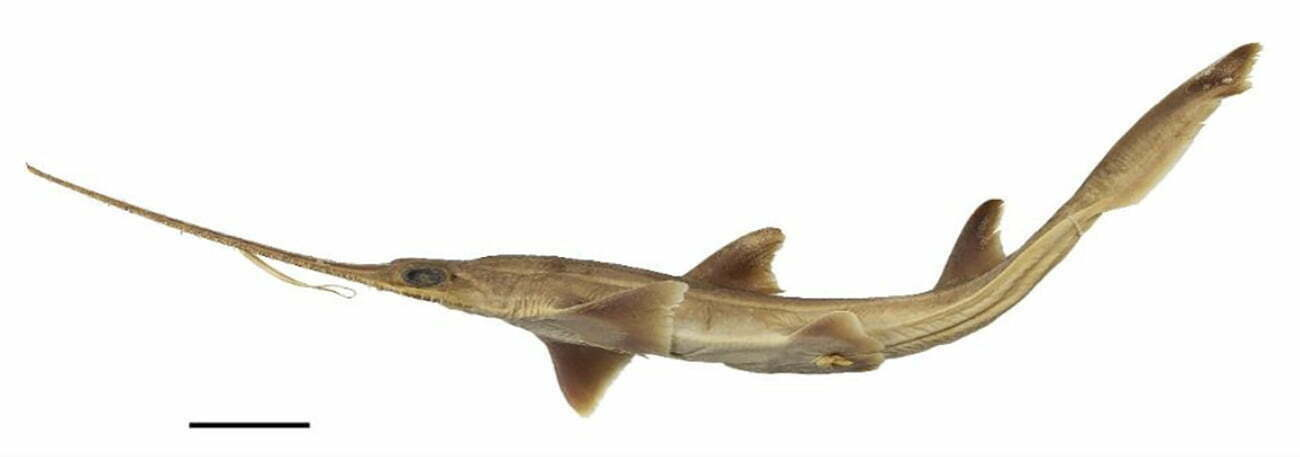 imagem do tubarão-serra juvenil de Kaja