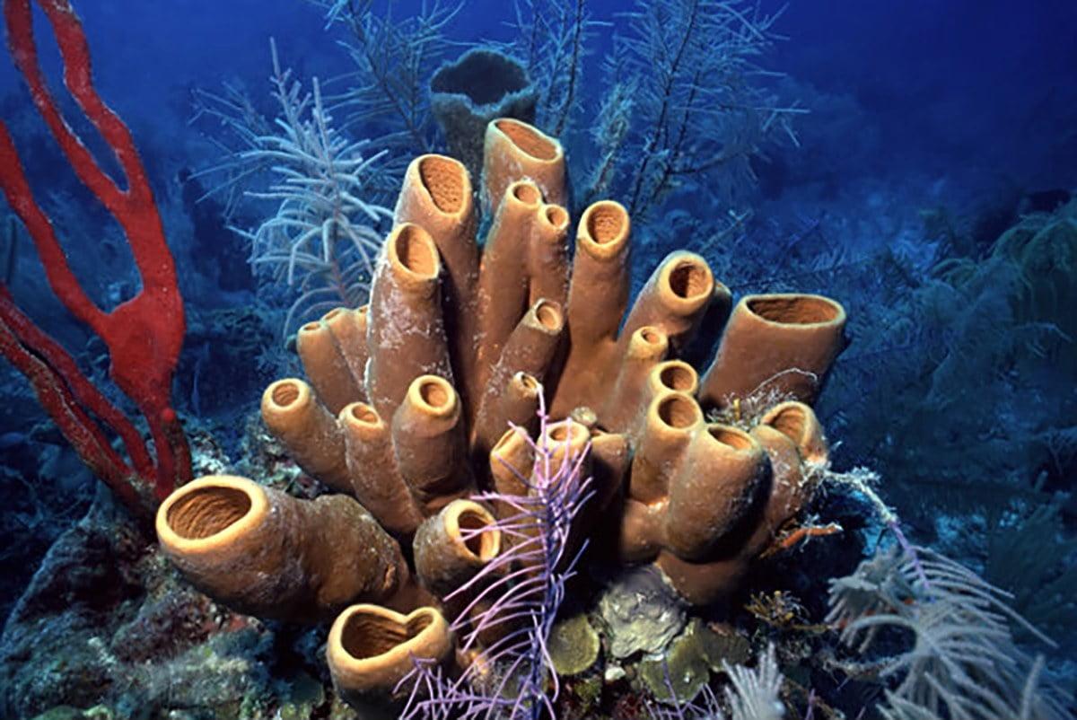 imgem de esponjas , um dos organismos do mar com propriedades antivirais