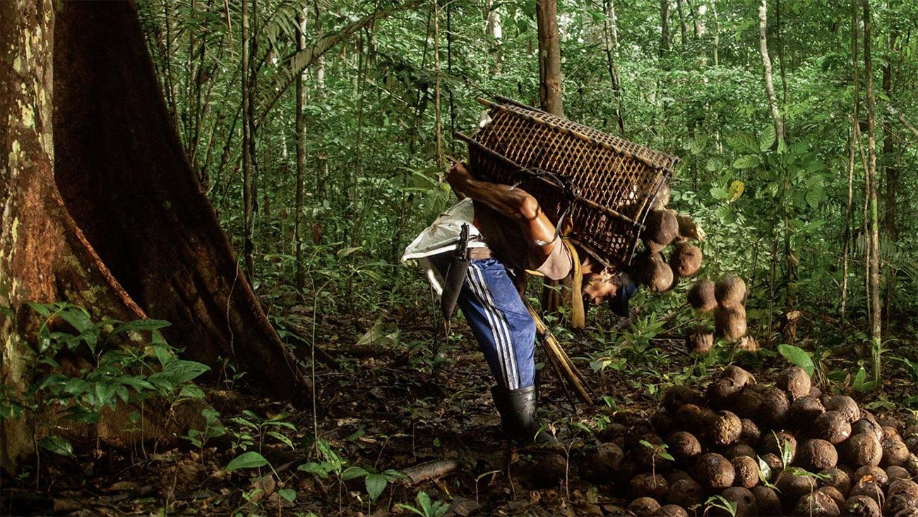 imagem de extrativista recolhendo castanha do Pará