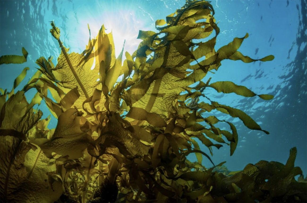 imagem de algas marinhas pardas