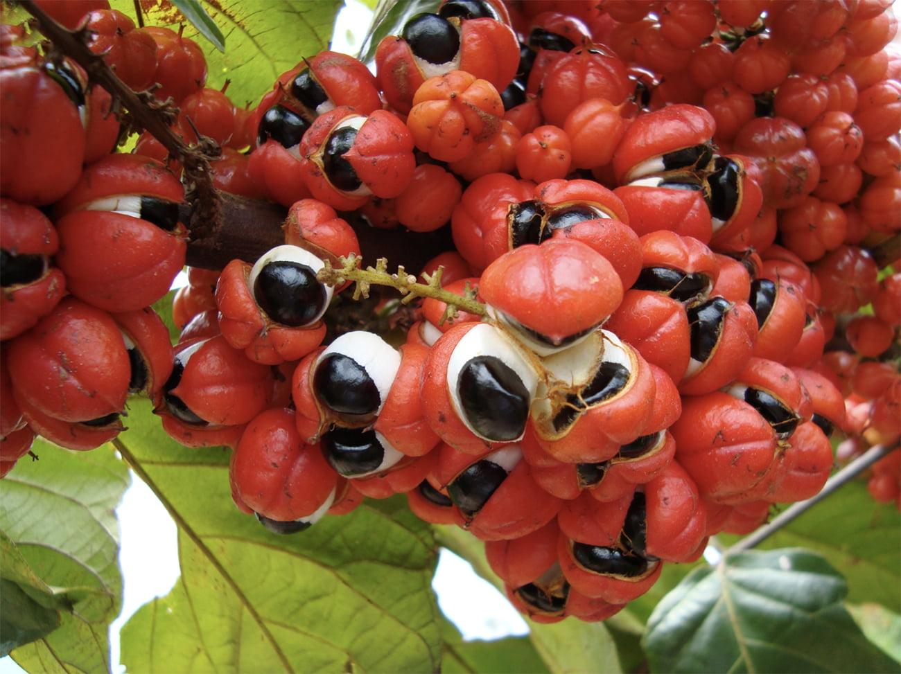 imagem de sementes de guaraná