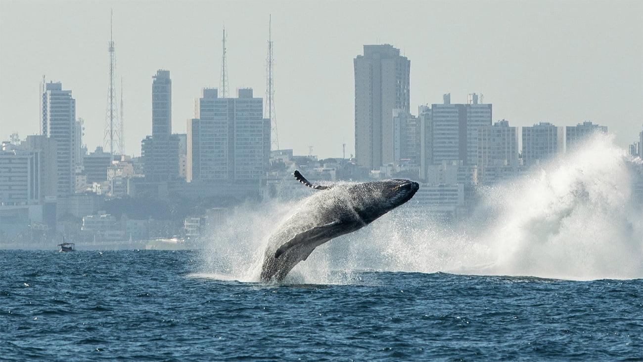 imagem de baleias do Brasil