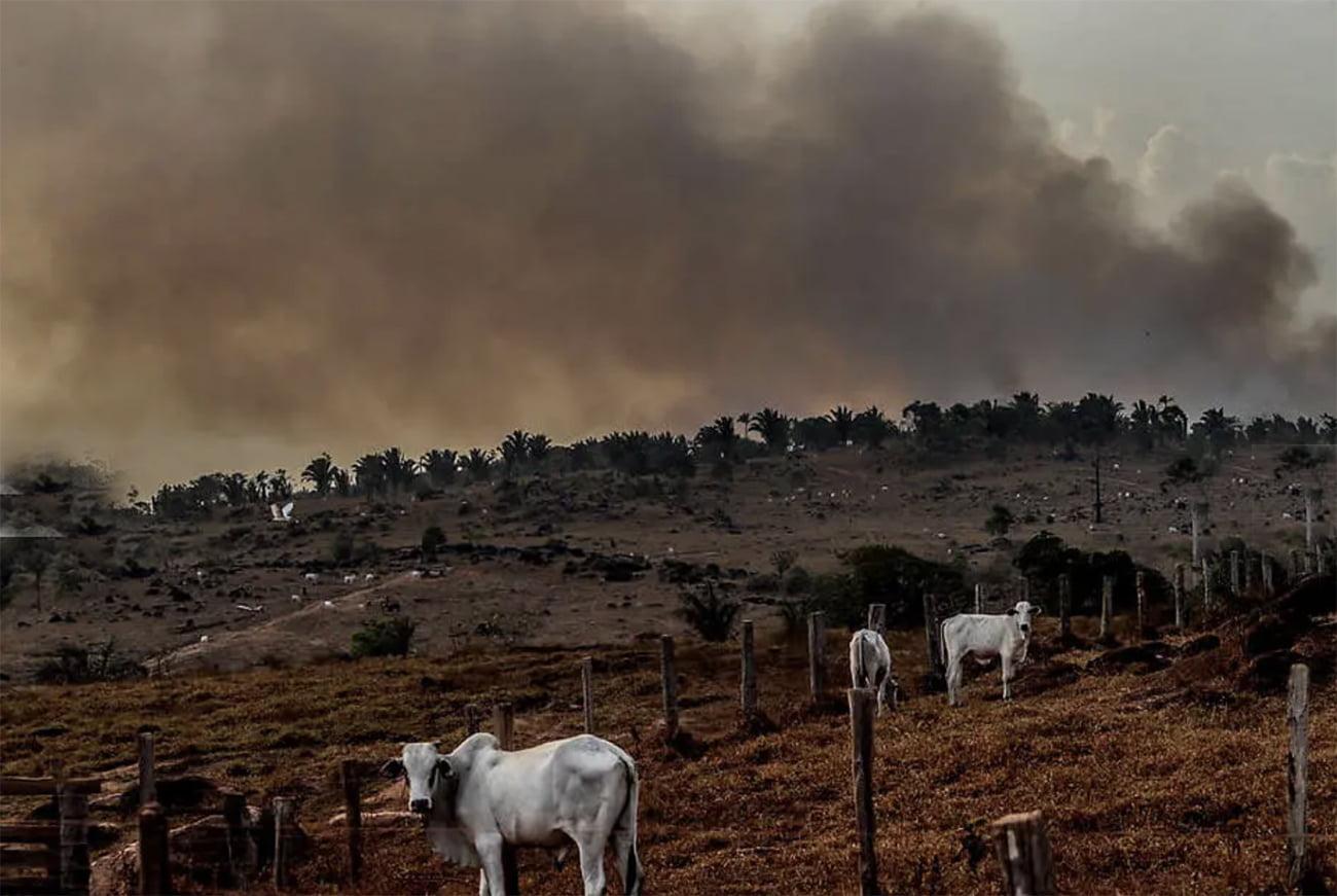 imagem de gado na Amazônia
