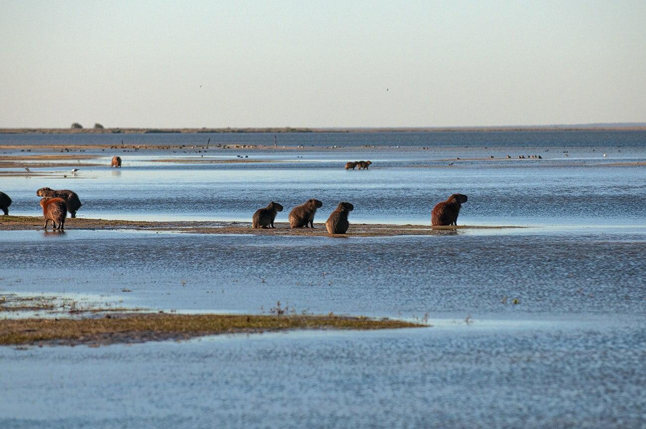 imagem de capivaras na lagoa mangueira