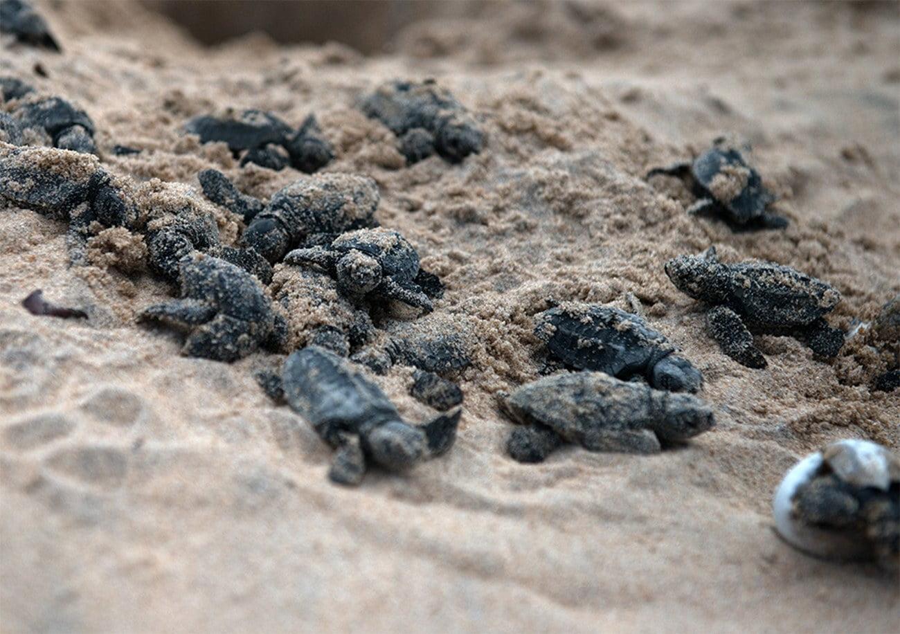 imagem de filhotes de tartaruga na praia