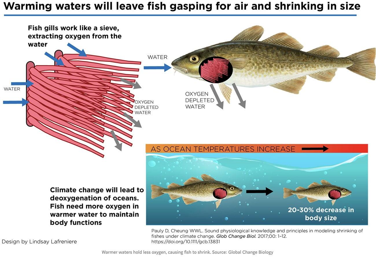 infográfico mostra efeito do aquecimento global sobre os peixes.