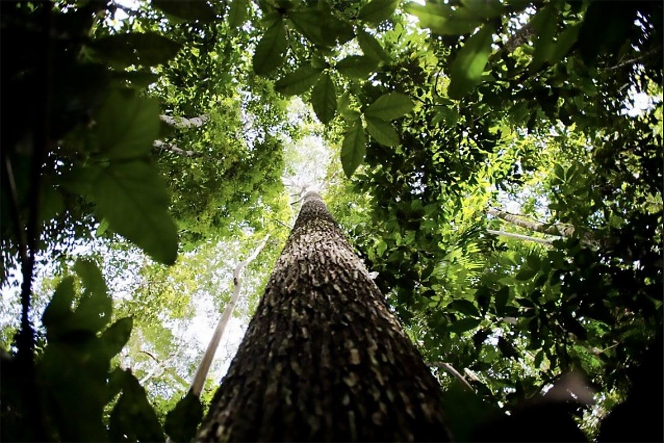 imagem da pujança da floresta amazônica