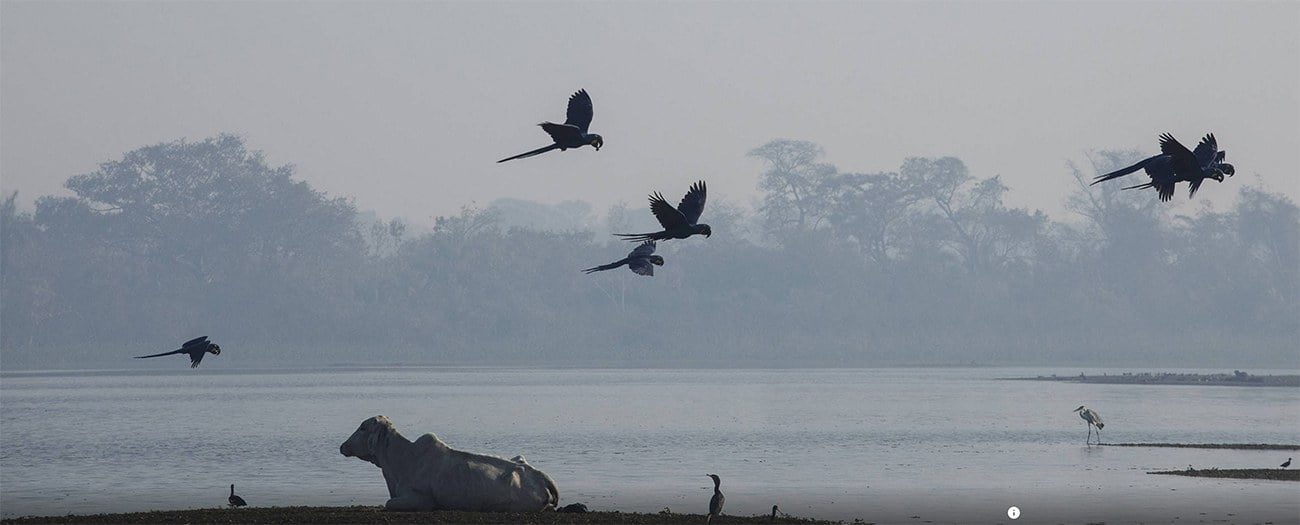 Imagem de araras-azuis no Pantanal