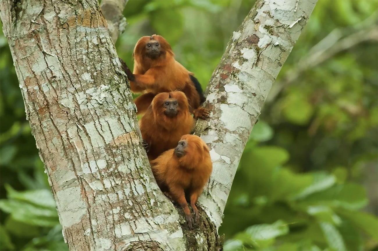 imagem de micos-leões-dourados