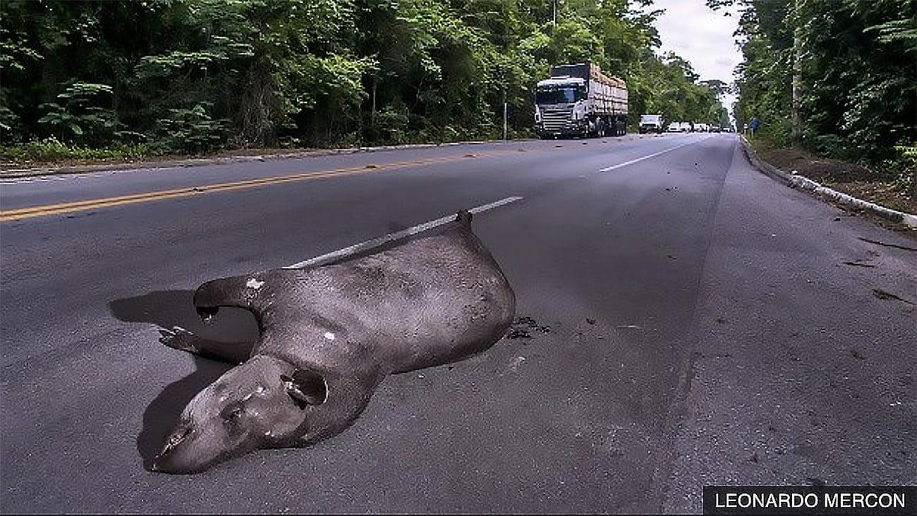 imagem de anta morta atropelada em estrada