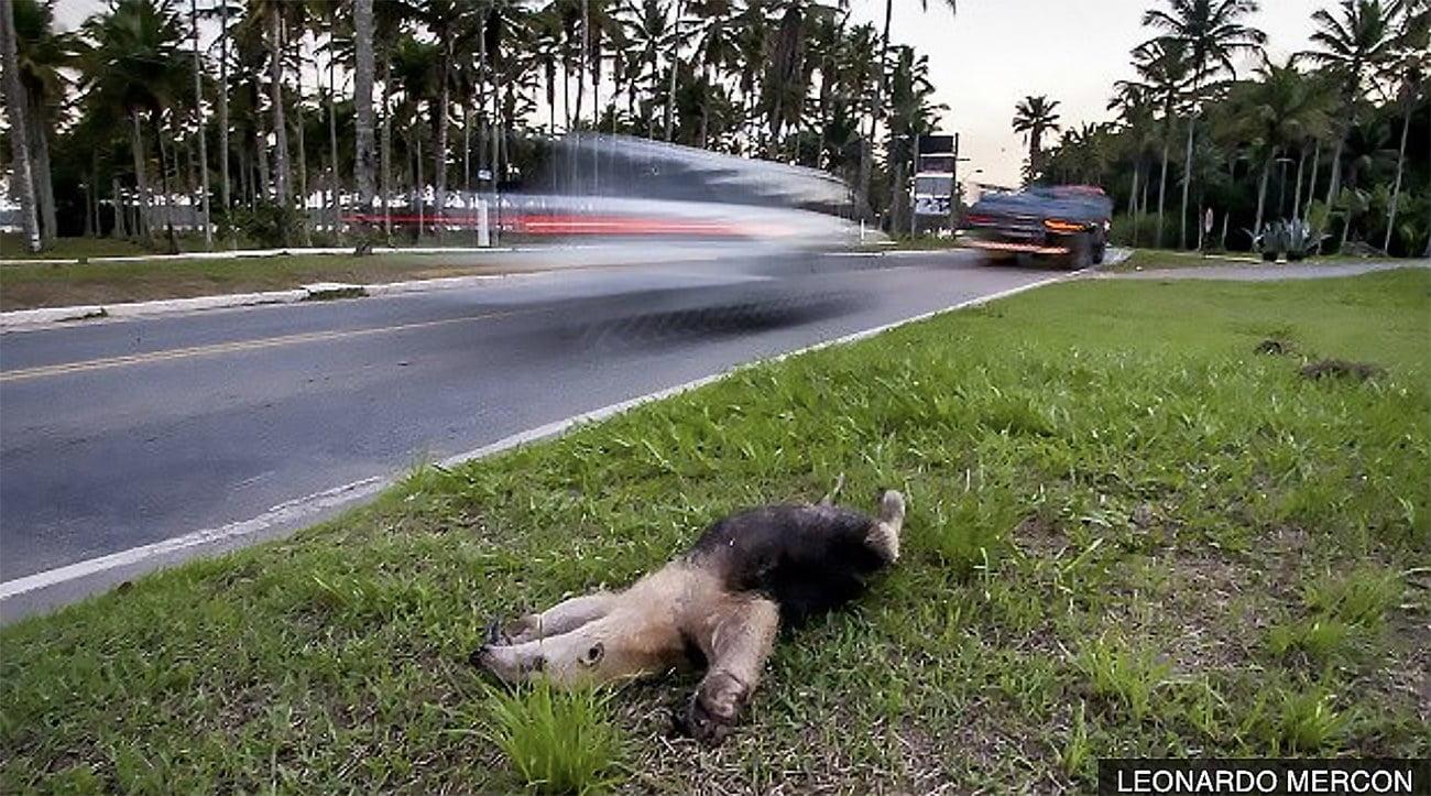 imagem de tamanduá morto por atropelamento