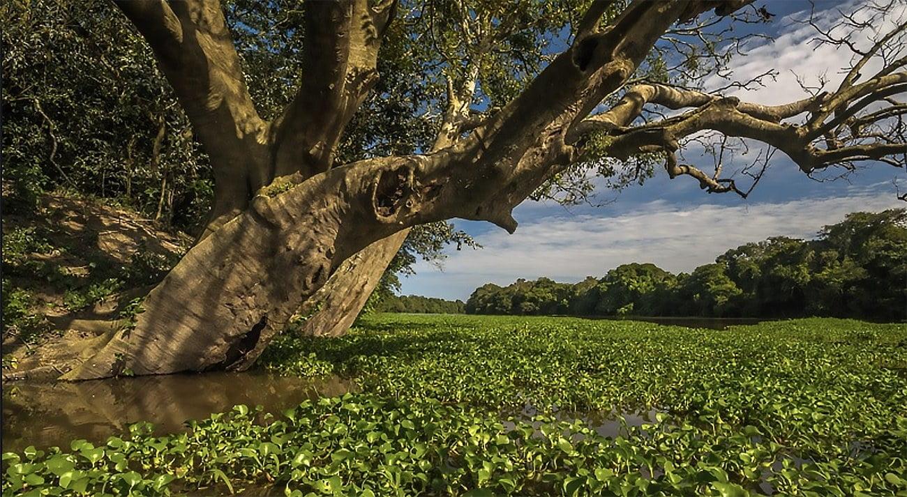 imagem de árvore da floresta amazônica.