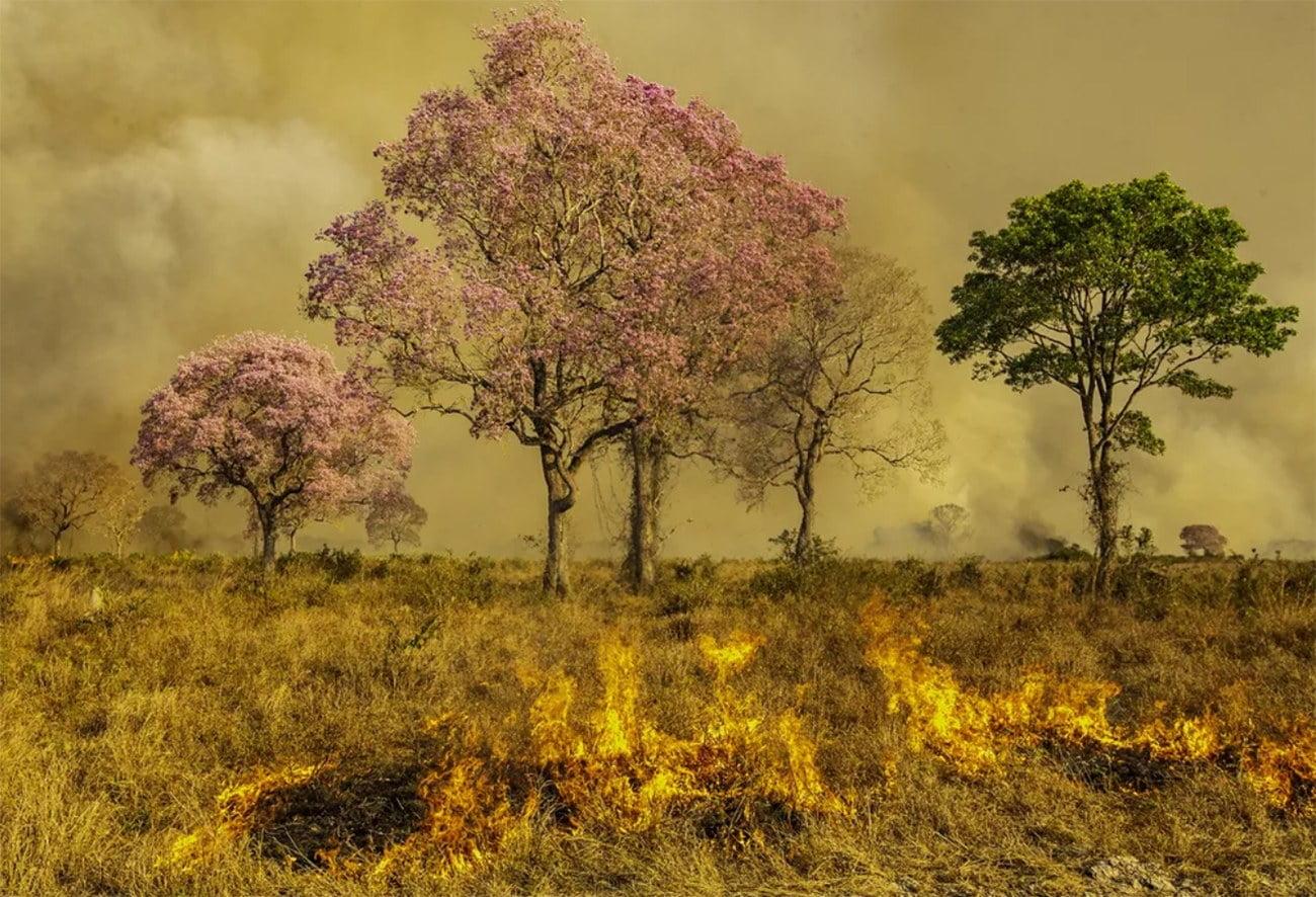 imagem de Ipês em chamas no Pantanal