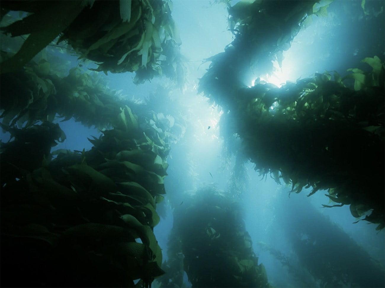 imagem de gramas marinhas da Califórnia