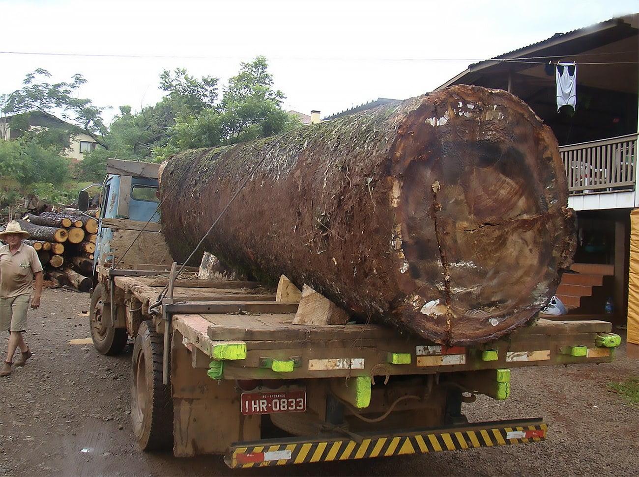 imagem de tronco de araucária em caminhão