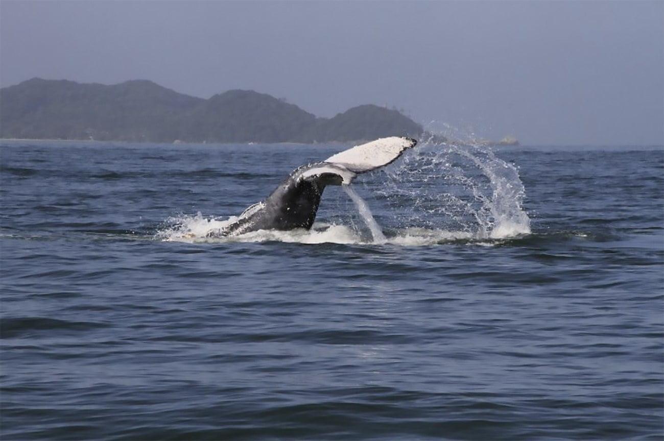 imagem de baleia jubarte no litoral paranaense