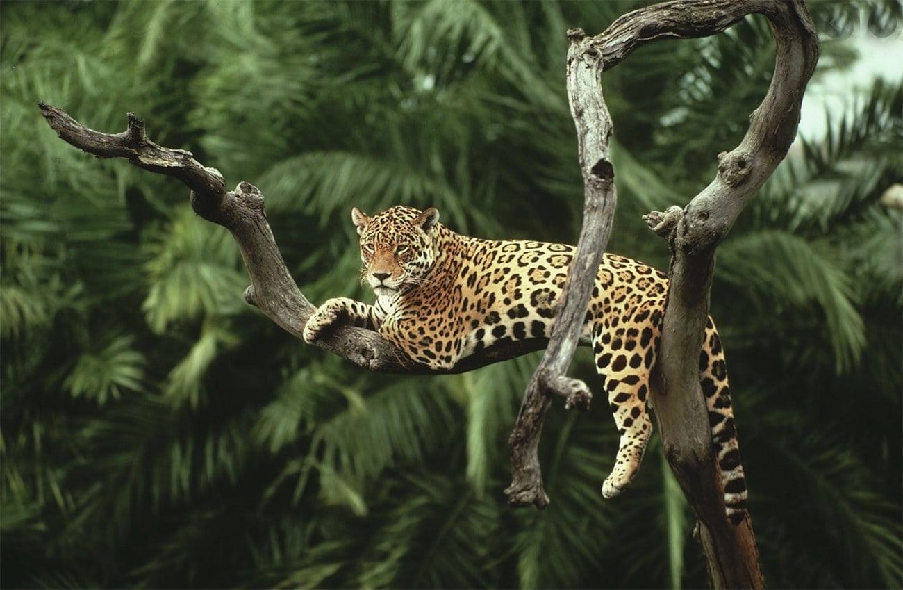 imagem de onça na amazonia