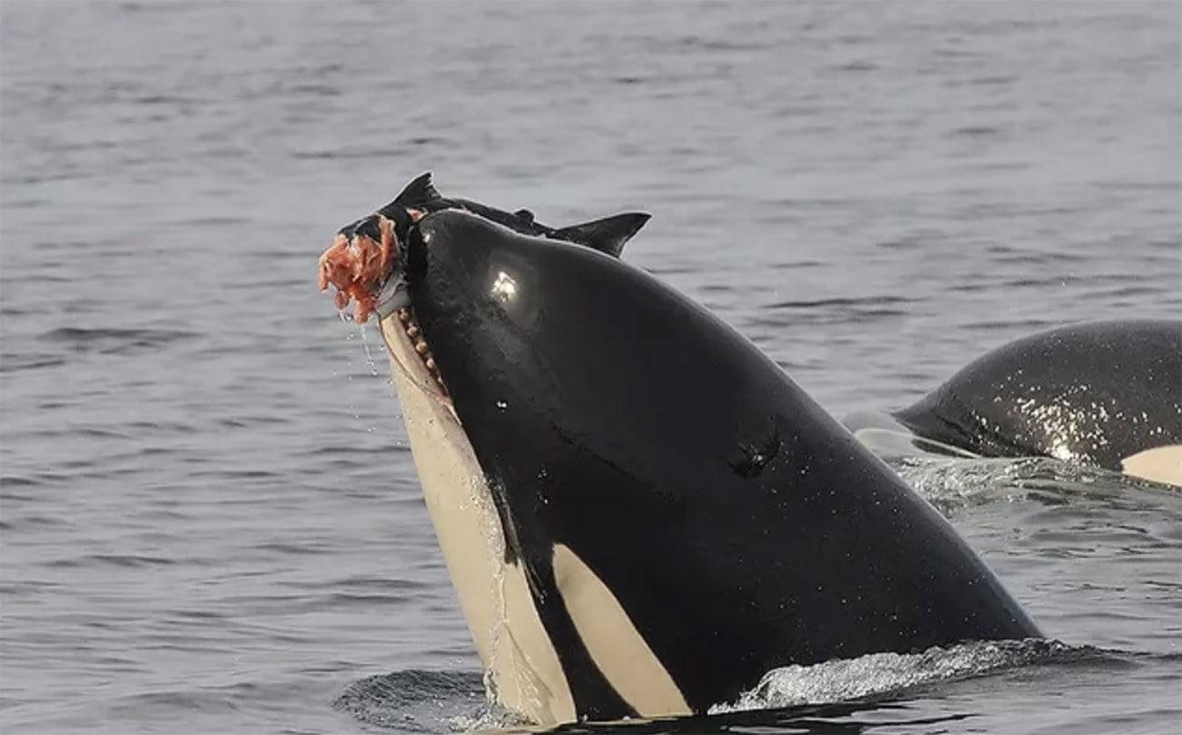 imagem de orcas
