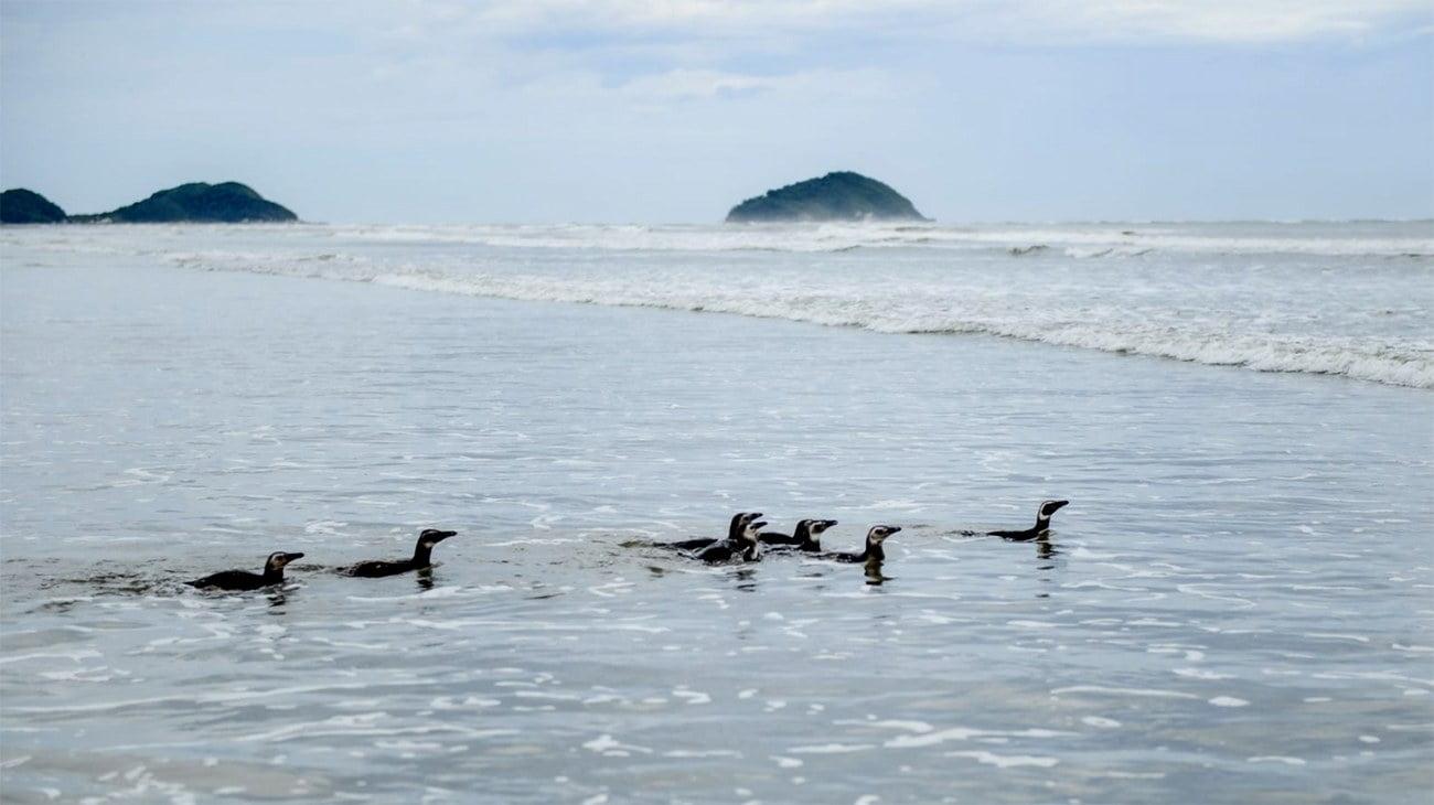 imagem de pinguins-de-magalhães no litoral paranaense