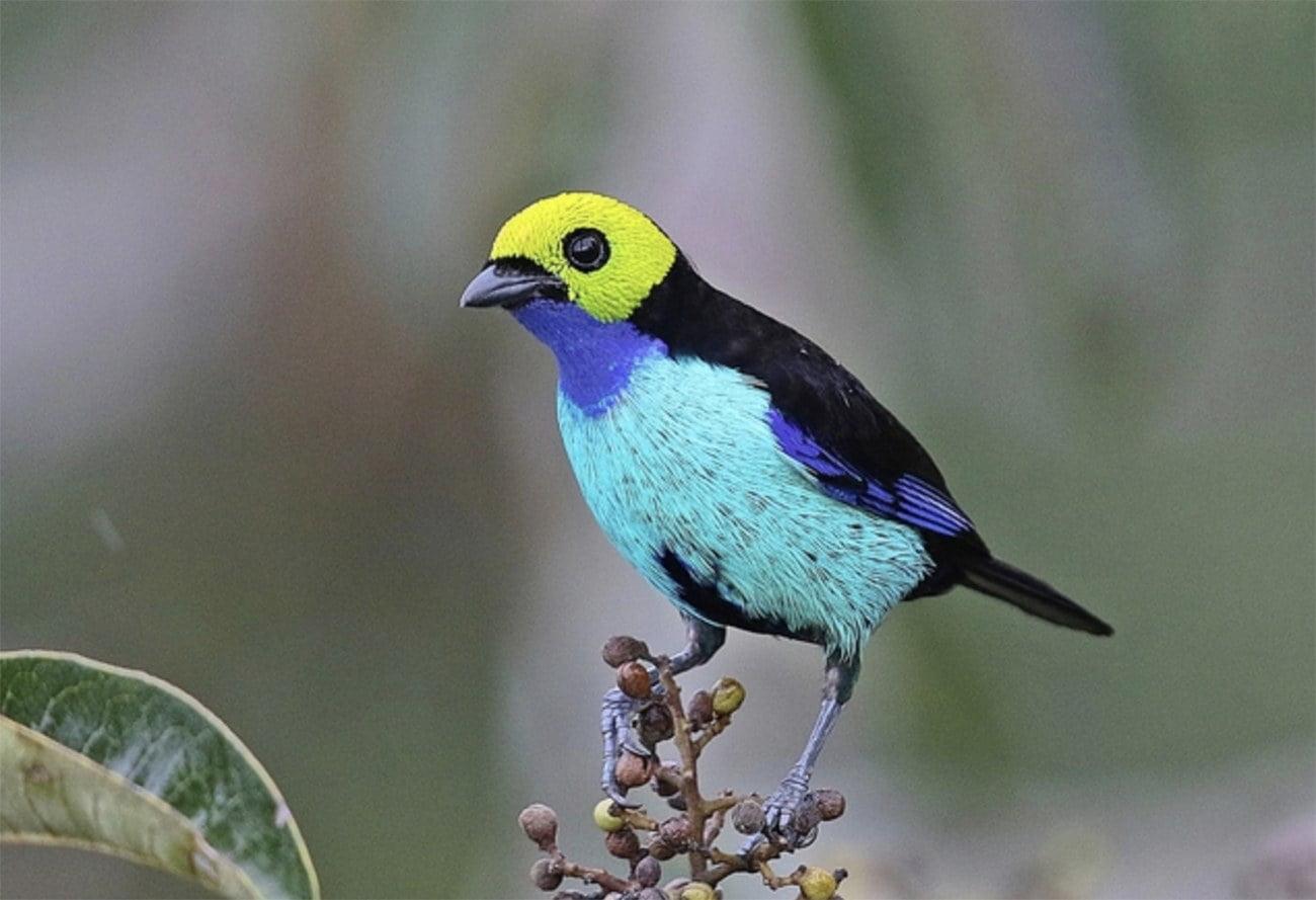 imagem de tangará da Amazônia