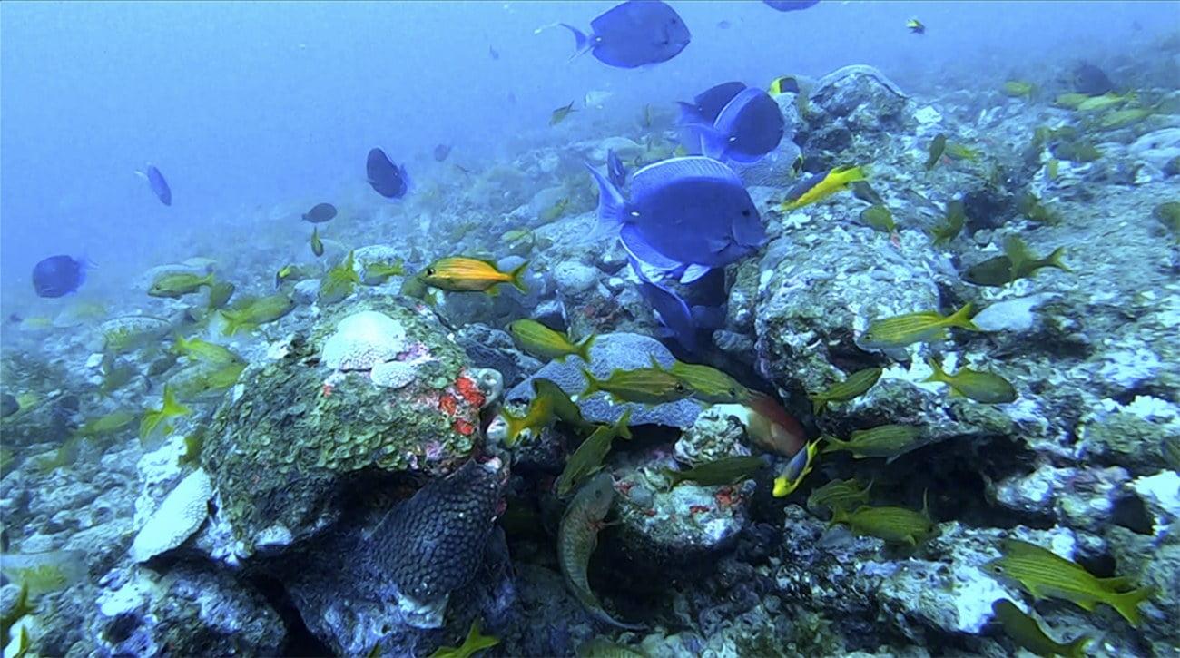 imagem de peixes em recifes do banco Royal Charlotte