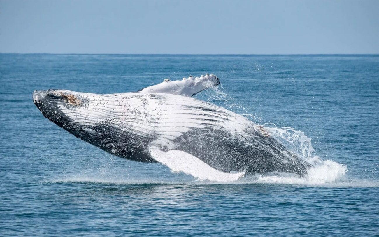 imagem de baleia Jubarte saltando