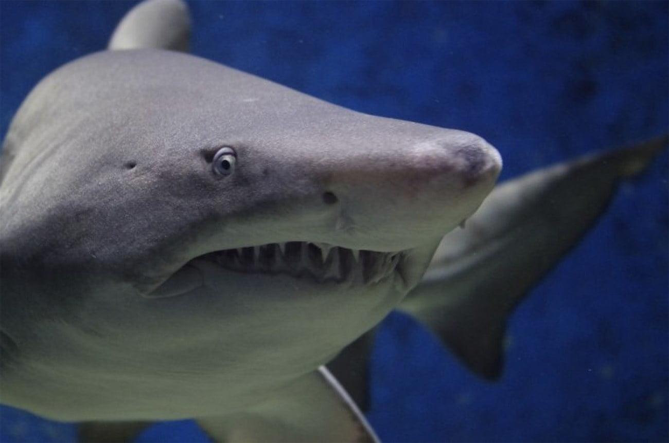 imagem de tubarão mangona