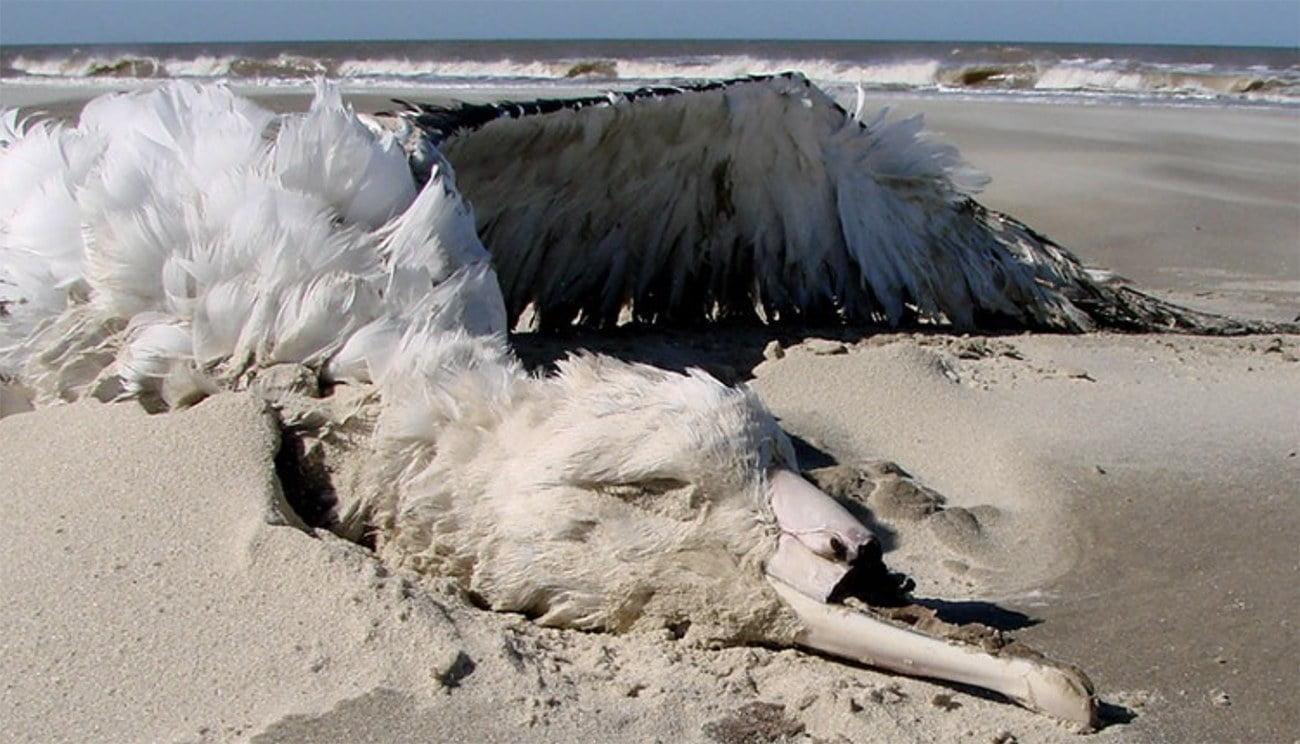 imagem de albatroz morto em praia