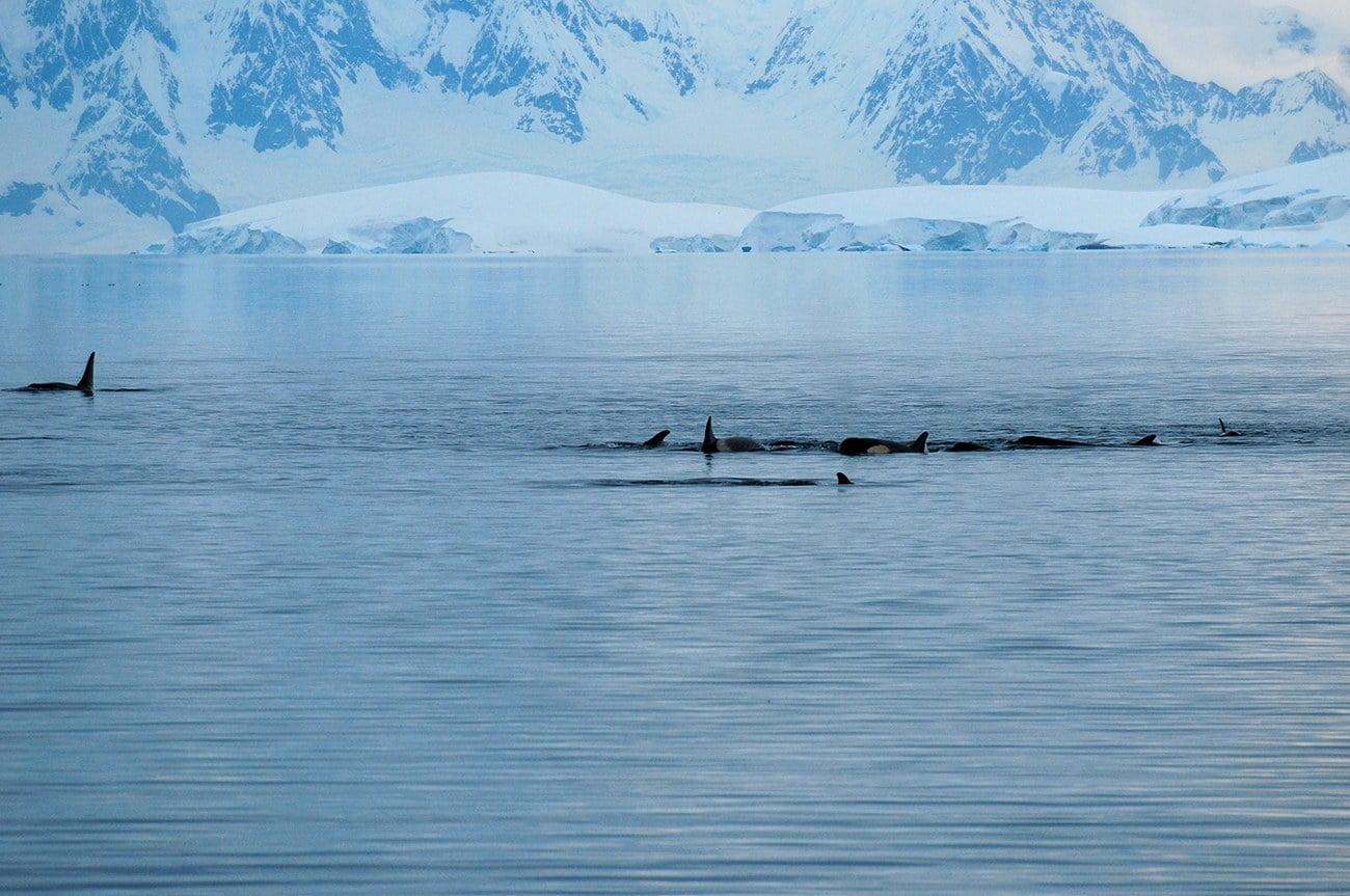 imagem de orcas na Antártica