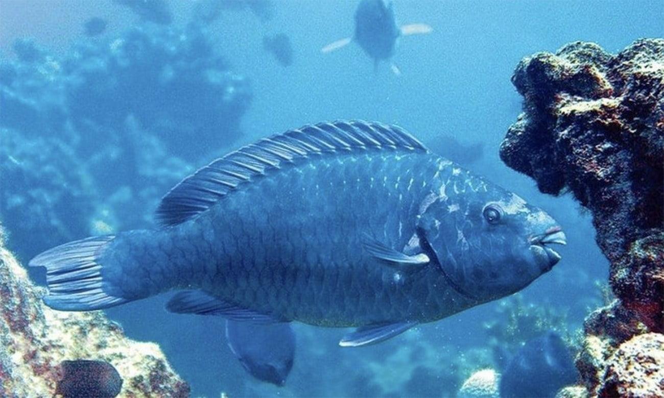 imagem de budião-azul