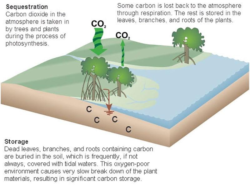 ilustração do ciclo do carbono em manguezal