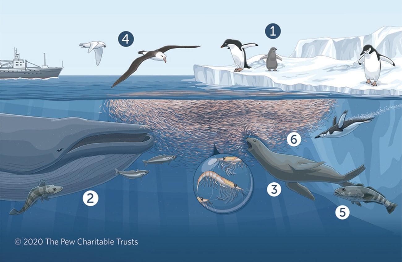 infográfico mostra ciclo do krill na Antártica
