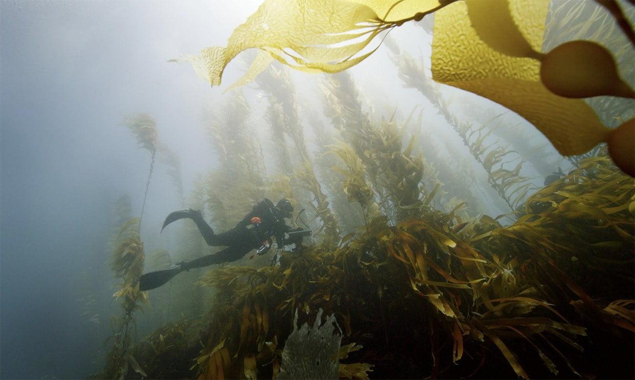 imagem de florestas de algas
