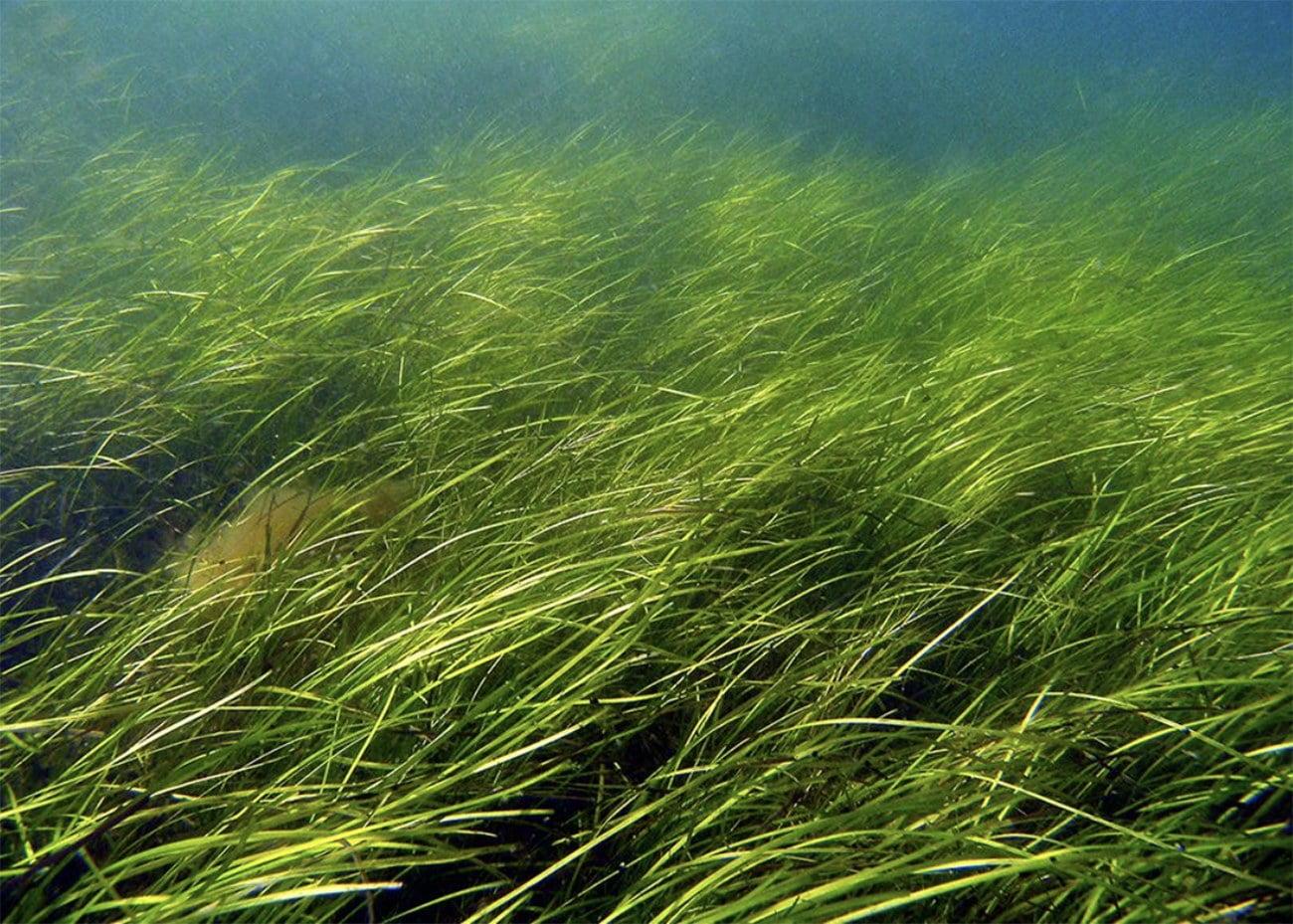 imagem de gramas marinhas