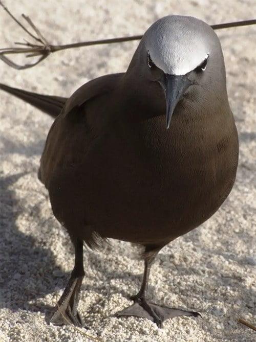 imagem de ave marinha do Atol das Rocas