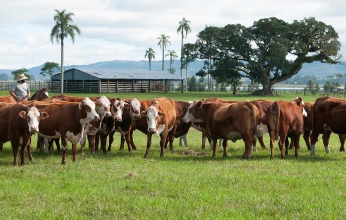 imagem de gado no Pampa
