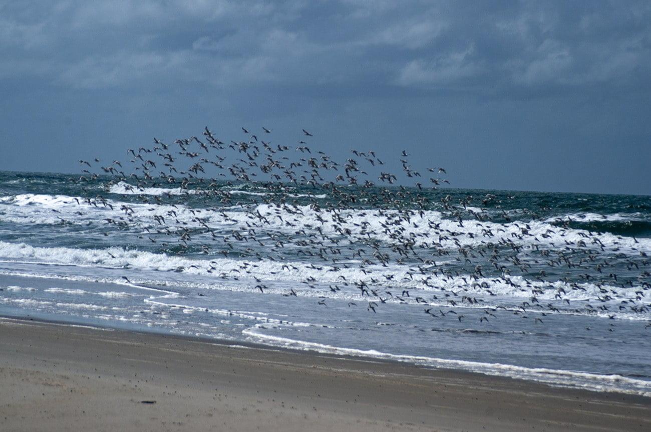 Imagem de maçaricos em voo na praia do cassino