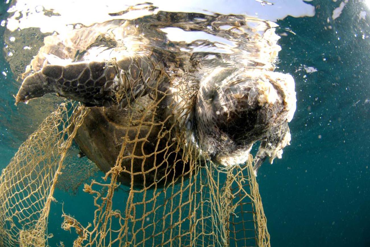 imagem de tartaruga marinha presa em redes de arrasto