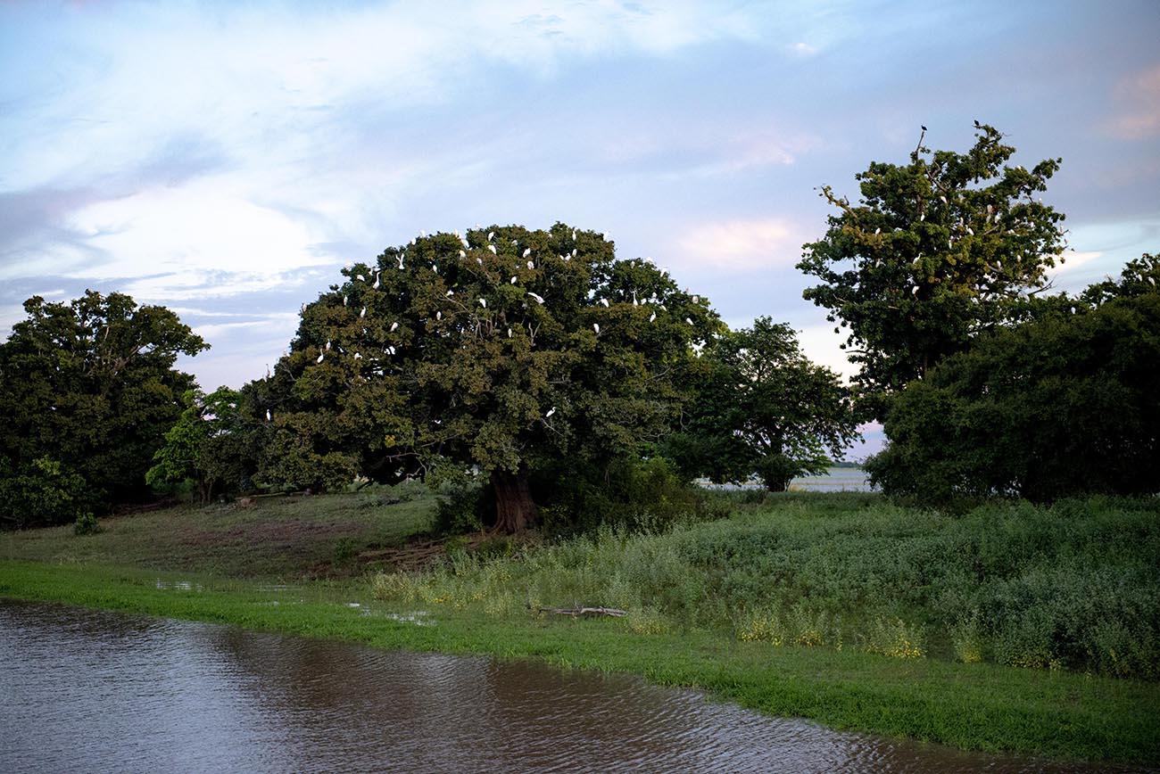 Imagem de garças em árvore