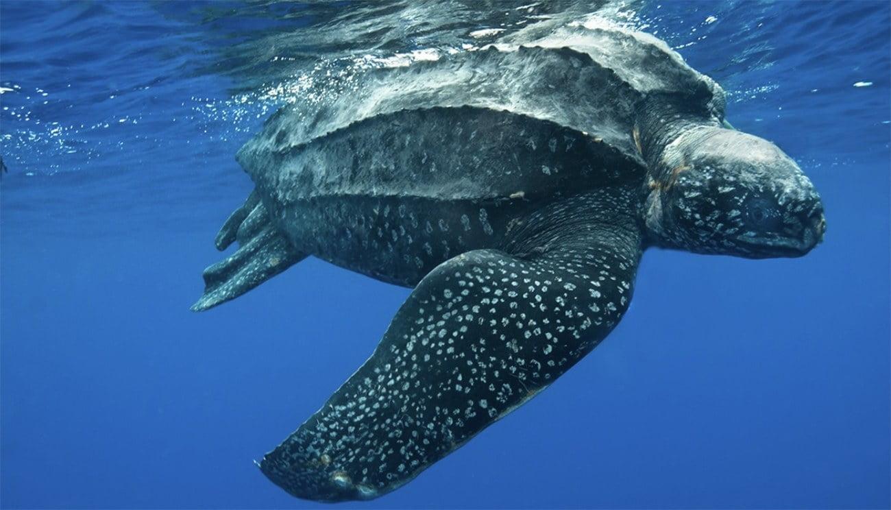 Imagem de tartaruga-de-couro