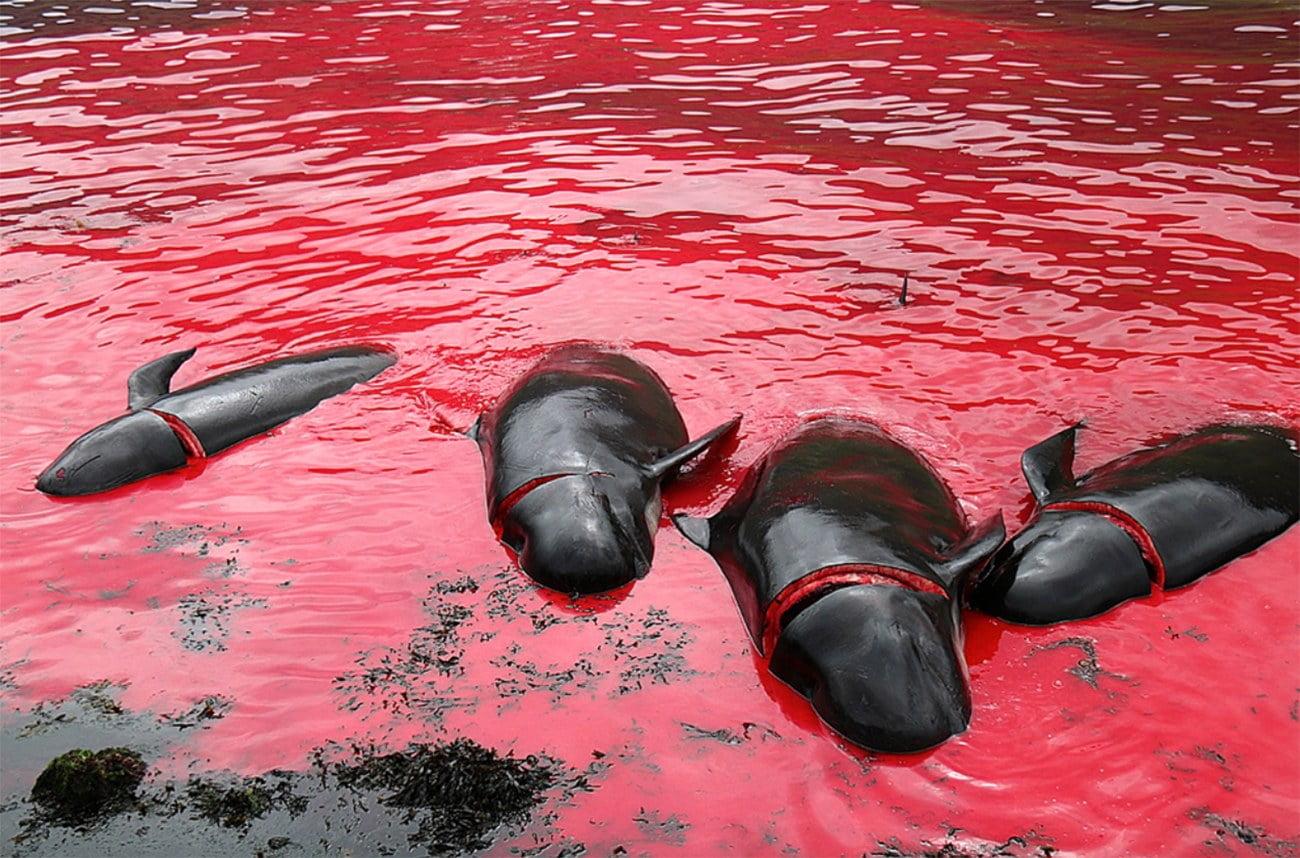 imagem de baleias piloto mortas