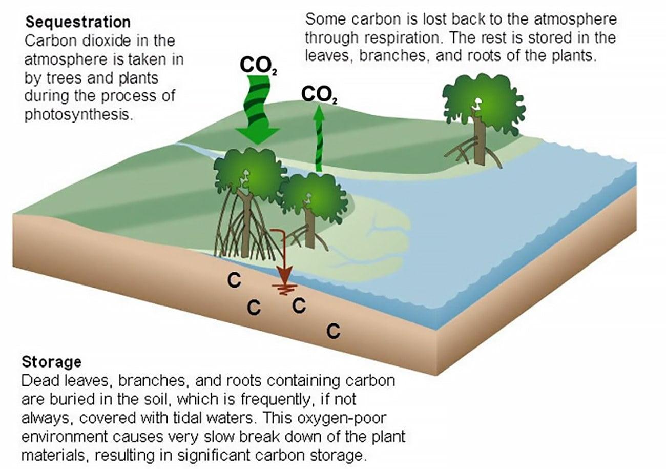 infográfico mostra ciclo do carbono e mangues