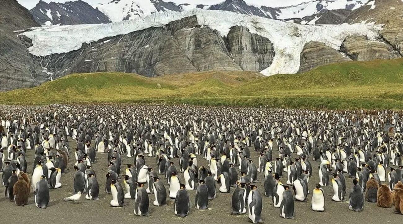 Imagem de colônia de pinguins-rei