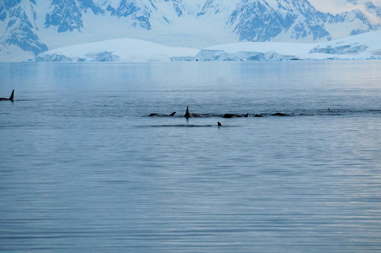 Imagem de orcas no estreito de Gerlache