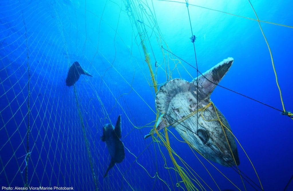 Imagem de peixe lua preso em rede