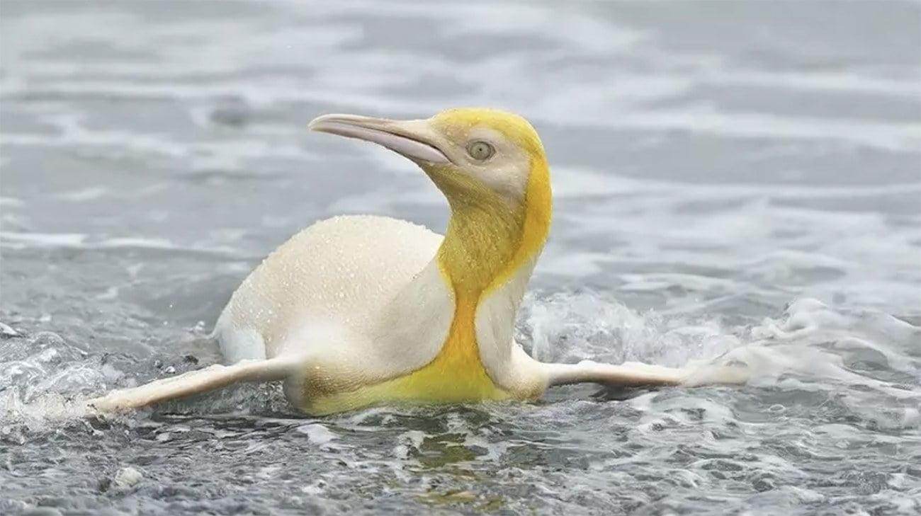 Imagem de pinguim-rei amarelo