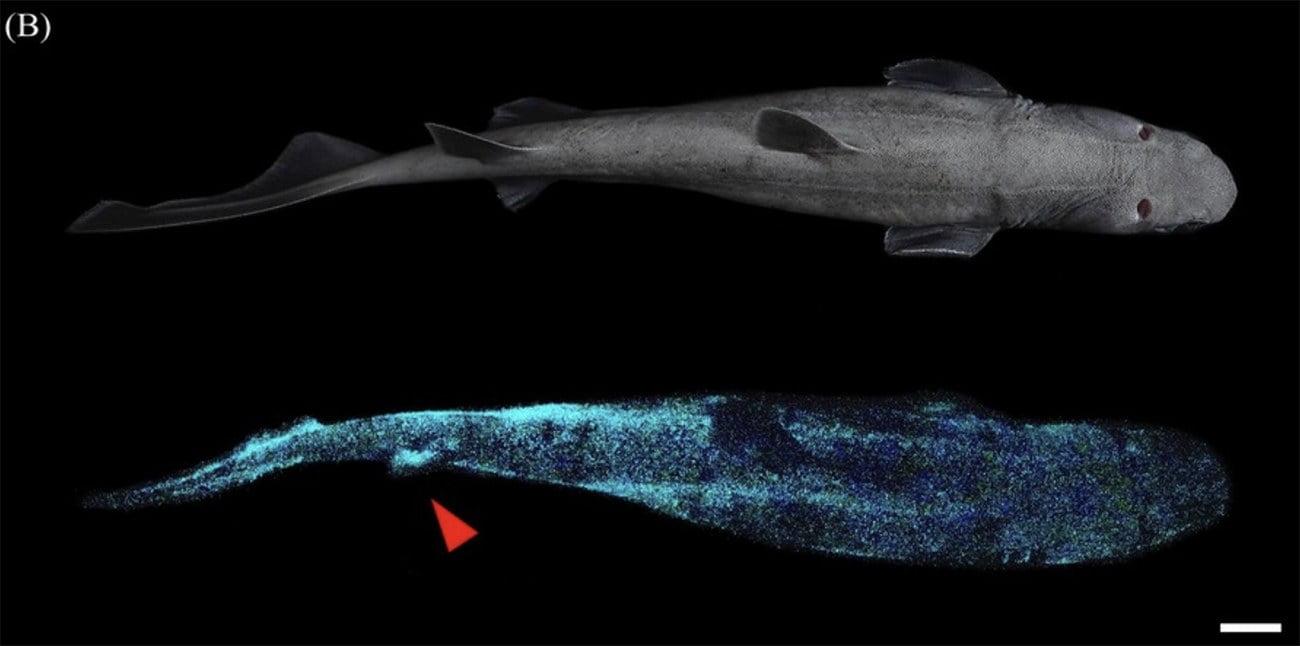 imagem de tubarões que brilham
