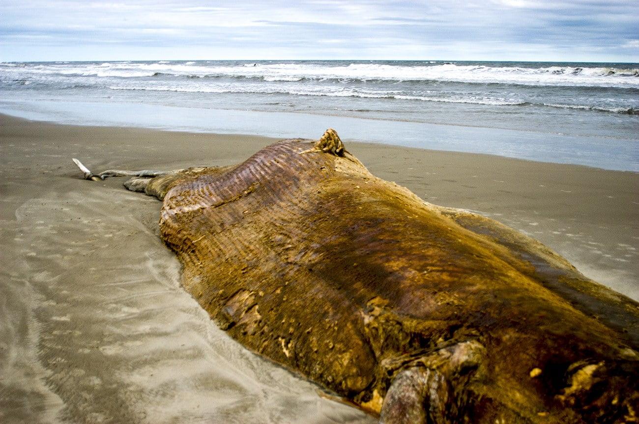 Imagem de baleia morta na praia do Cassino, RS
